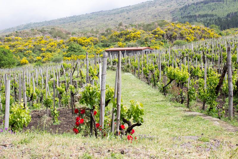 Green vineyard in Sicily royalty free stock photo