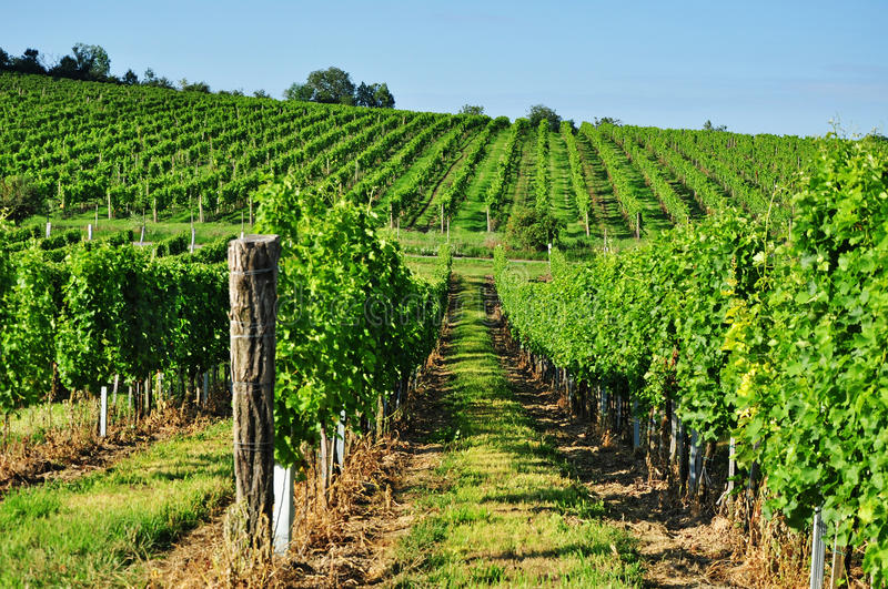 Green vineyard of south Moravia. In spring, wine production in Czech Republic royalty free stock photo