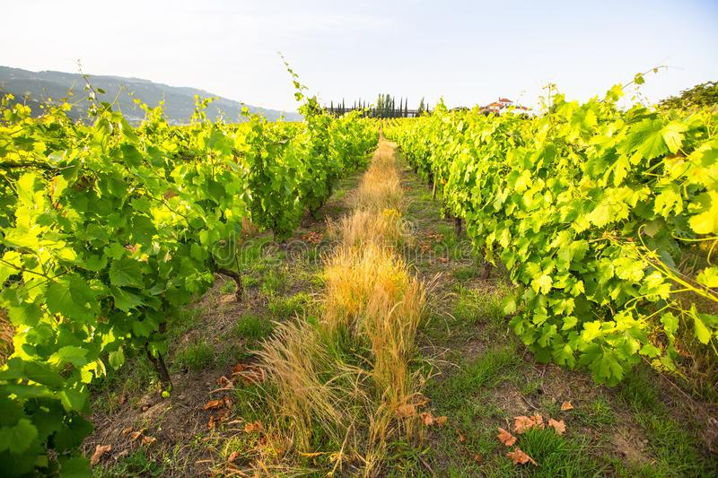 Green vineyard at valley in Portugal. Summer. Green vineyard at valley in Portugal royalty free stock images
