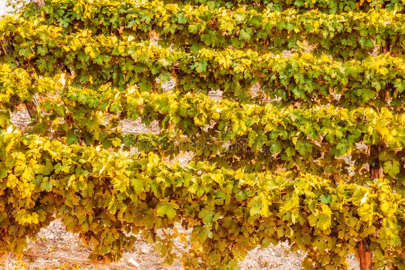 Green vineyards in the countryside in Puglia stock photo