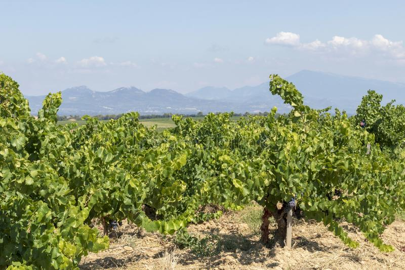 Mont Ventoux mountain and Dentelles de Montmirail chain of mountains with green wine fields of Provence, France. Green vineyards of French wine-producing region royalty free stock image