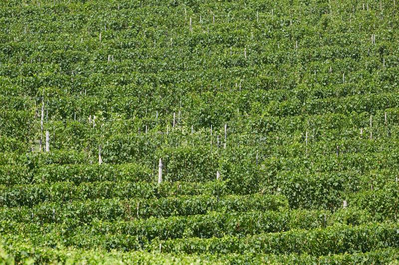 Green vineyards texture background in a sunny day royalty free stock image