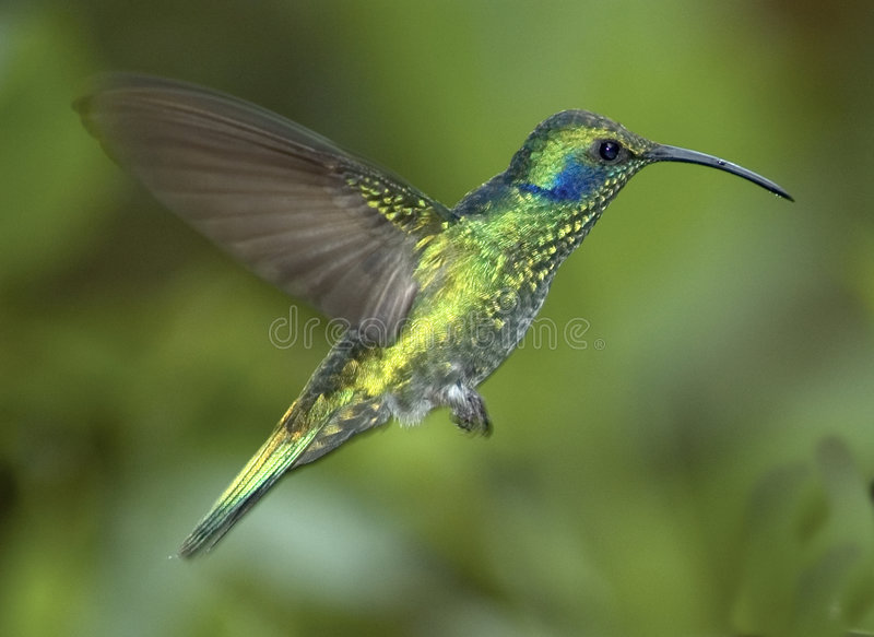 Green violet-ear hummingbird stock images