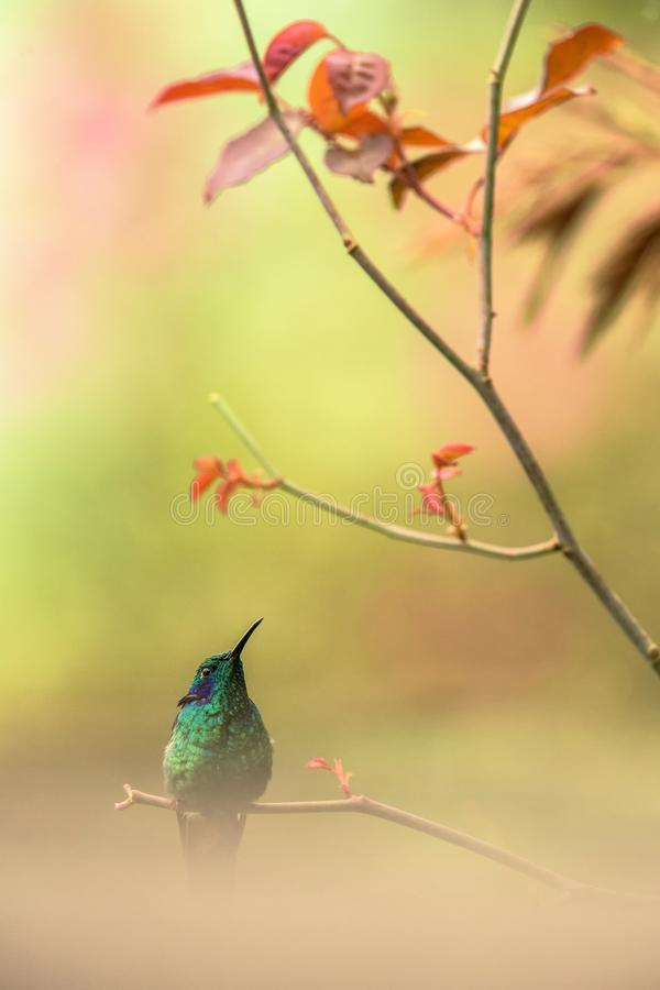 Green violet-ear sitting on branch, hummingbird from tropical forest,Peru,bird perching,tiny bird resting in rainforest,clear colo. Rful background,nature stock photography