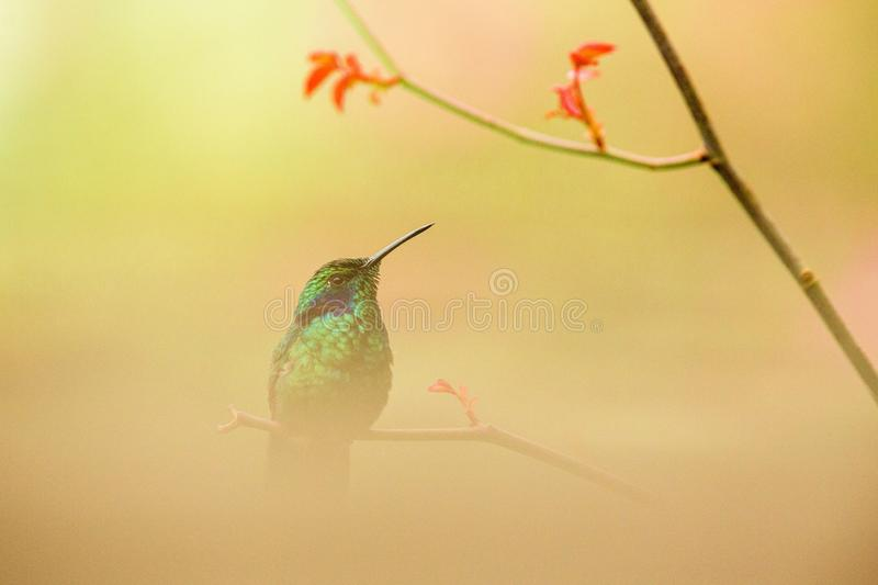 Green violet-ear sitting on branch, hummingbird from tropical forest,Peru,bird perching,tiny bird resting in rainforest,clear colo. Rful background,nature royalty free stock image