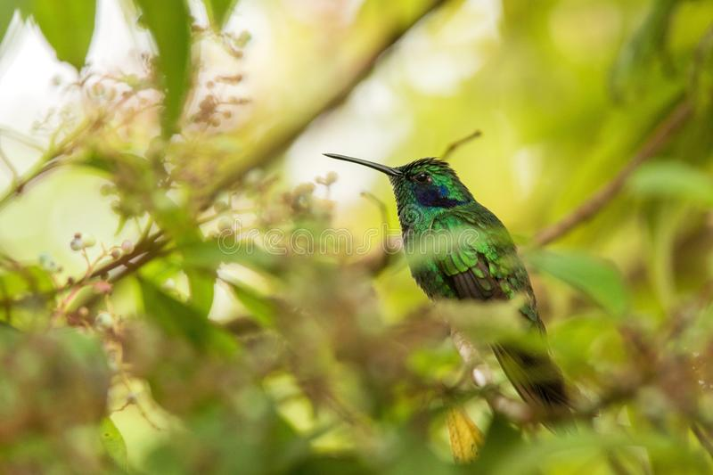 Green violet-ear sitting on flower, hummingbird from tropical forest,Peru,bird perching,tiny bird resting in rainforest,clear colo. Rful background,nature stock photos