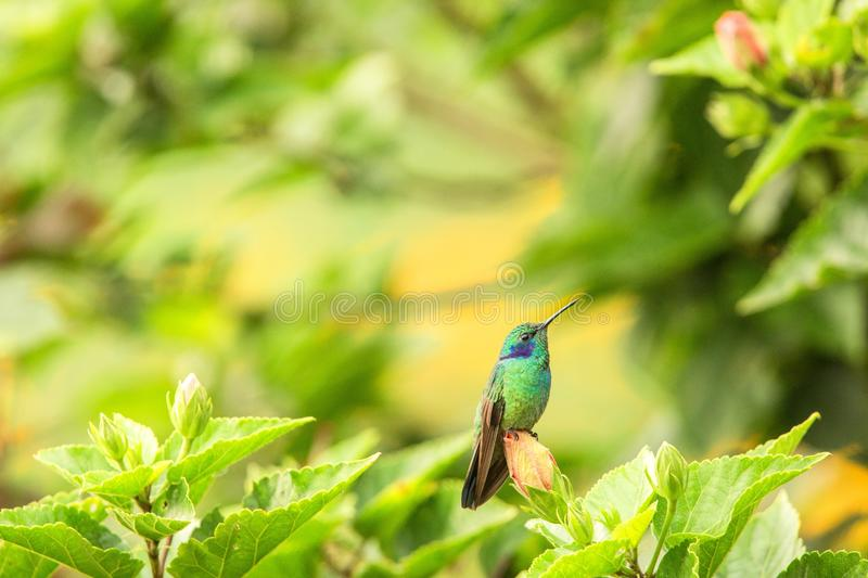 Green violet-ear sitting on flower, hummingbird from tropical forest,Peru,bird perching,tiny bird resting in rainforest,clear colo. Rful background,nature royalty free stock photos