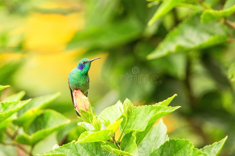 Green violet-ear sitting on flower, hummingbird from tropical forest,Peru,bird perching,tiny bird resting in rainforest,clear colo. Rful background,nature stock photo