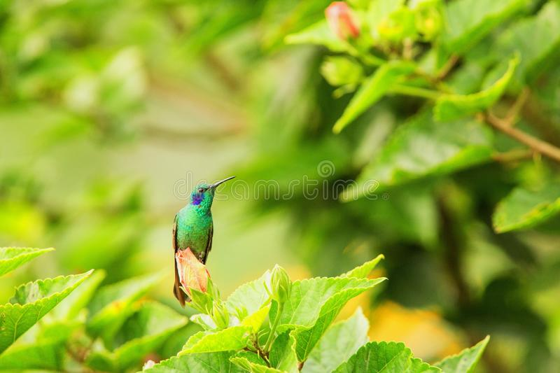 Green violet-ear sitting on flower, hummingbird from tropical forest,Peru,bird perching,tiny bird resting in rainforest,clear colo. Rful background,nature royalty free stock images