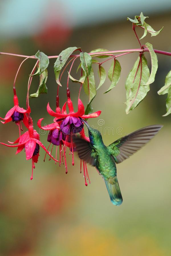 Green violetear, Colibri thalassinus, hovering next to red flower in garden, bird from mountain tropical forest, Costa Ri royalty free stock images