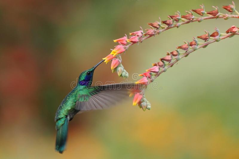 Green violetear, Colibri thalassinus, hovering next to red flower in garden, bird from mountain tropical forest, Costa Ri stock photography