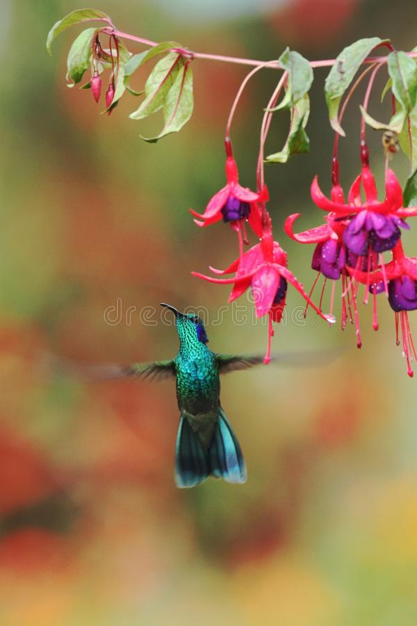 Green violetear, Colibri thalassinus, hovering next to red flower in garden, bird from mountain tropical forest, Costa Ri. Green violetear, Colibri thalassinus stock images