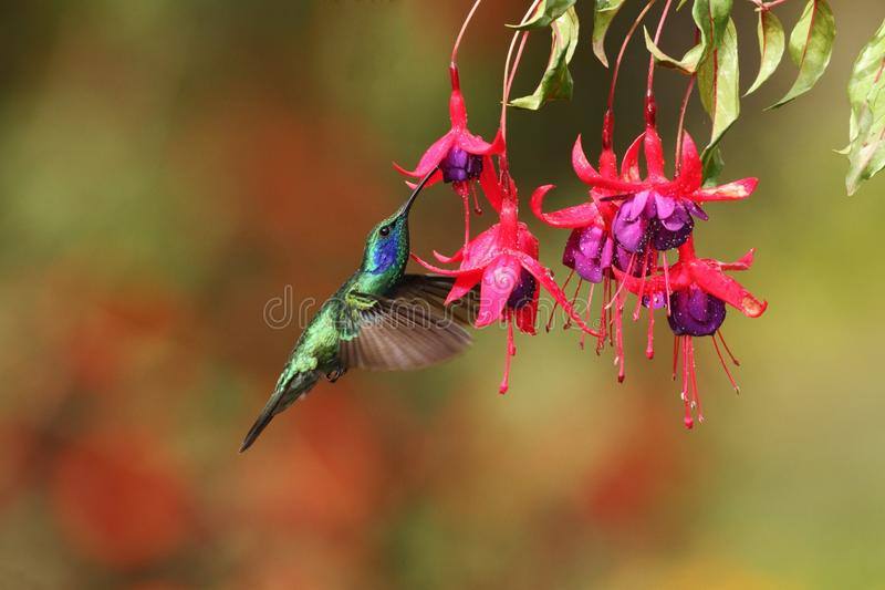 Green violetear, Colibri thalassinus, hovering next to red flower in garden, bird from mountain tropical forest, Costa Ri. Green violetear, Colibri thalassinus royalty free stock images