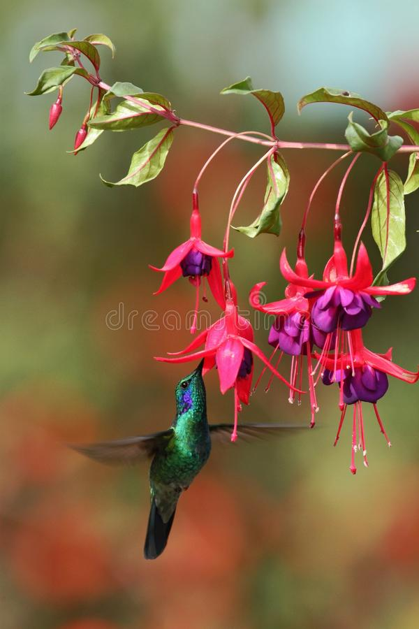 Green violetear, Colibri thalassinus, hovering next to red flower in garden, bird from mountain tropical forest, Costa Ri. Green violetear, Colibri thalassinus stock image