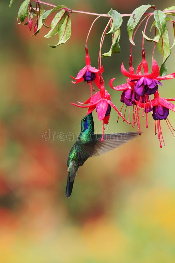 Green violetear, Colibri thalassinus, hovering next to red flower in garden, bird from mountain tropical forest, Costa Ri. Green violetear, Colibri thalassinus stock photo