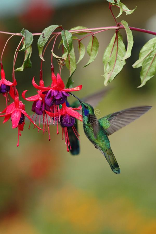 Green violetear, Colibri thalassinus, hovering next to red flower in garden, bird from mountain tropical forest, Costa Ri royalty free stock photography