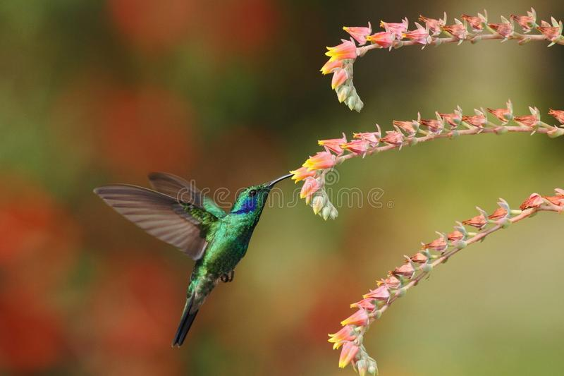 Green violetear, Colibri thalassinus, hovering next to red flower in garden, bird from mountain tropical forest, Costa Ri stock images