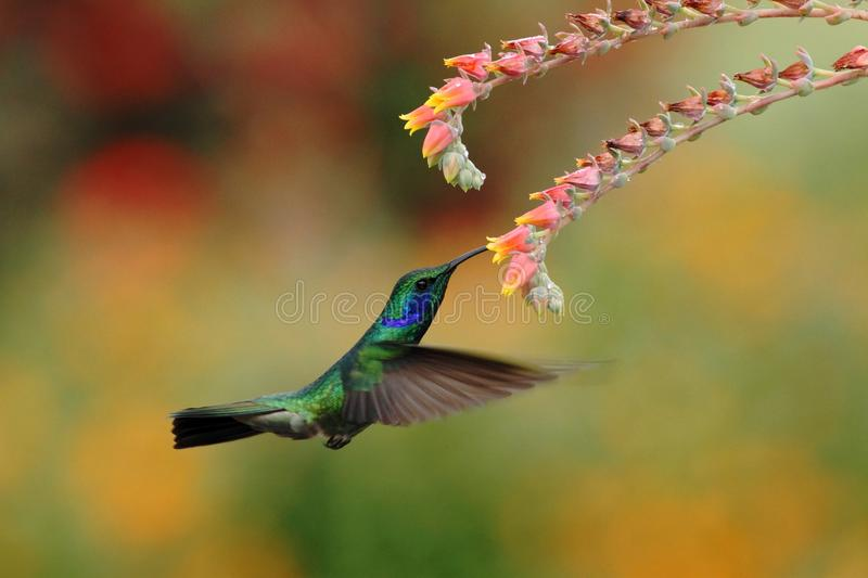 Green violetear, Colibri thalassinus, hovering next to red flower in garden, bird from mountain tropical forest, Costa Ri stock photos