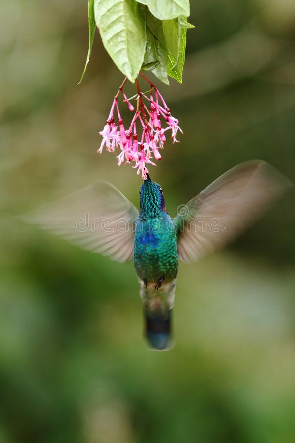 Green violetear, Colibri thalassinus, hovering next to red flower in garden, bird from mountain tropical forest, Costa Ri. Green violetear, Colibri thalassinus stock photography
