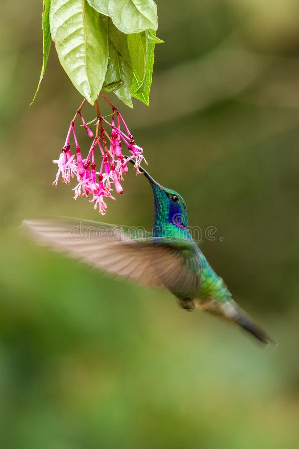 Green violetear hovering next to red flower, bird in flight, mountain tropical forest, Costa Rica. Green violetear hovering next to pink flower, bird in flight royalty free stock image