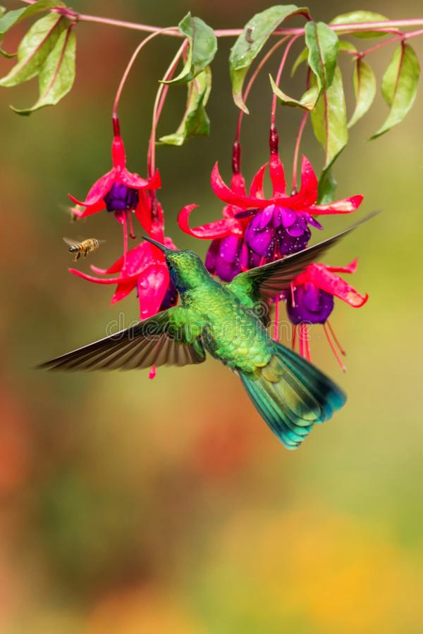 Green violetear hovering next to red flower, bird in flight, mountain tropical forest, Costa Rica. Green violetear hovering next to red and violet flower, bird royalty free stock images