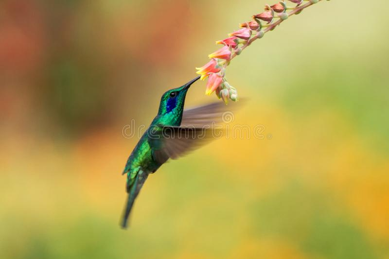 Green violetear hovering next to red flower, bird in flight, mountain tropical forest, Costa Rica. Green violetear hovering next to red and yellow flower, bird stock photos