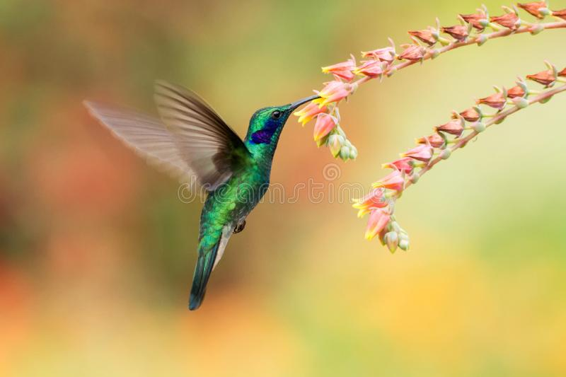 Green violetear hovering next to red flower, bird in flight, mountain tropical forest, Costa Rica. Green violetear hovering next to red and violet flower, bird stock photo