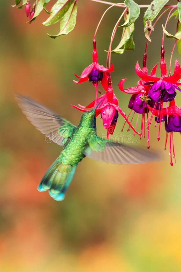 Green violetear hovering next to red flower, bird in flight, mountain tropical forest, Costa Rica. Green violetear hovering next to red and violet flower, bird royalty free stock image