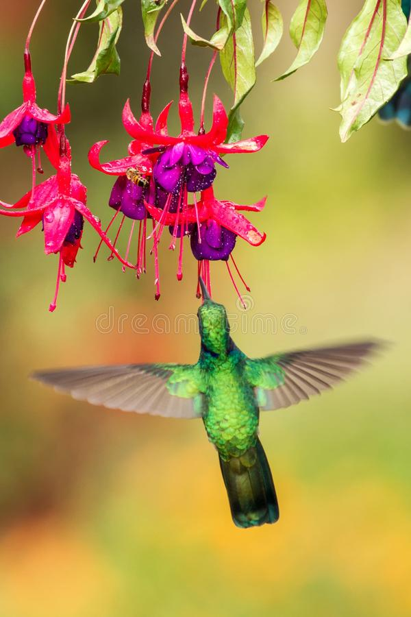 Green violetear hovering next to red flower, bird in flight, mountain tropical forest, Costa Rica. Green violetear hovering next to red and violet flower, bird stock photography