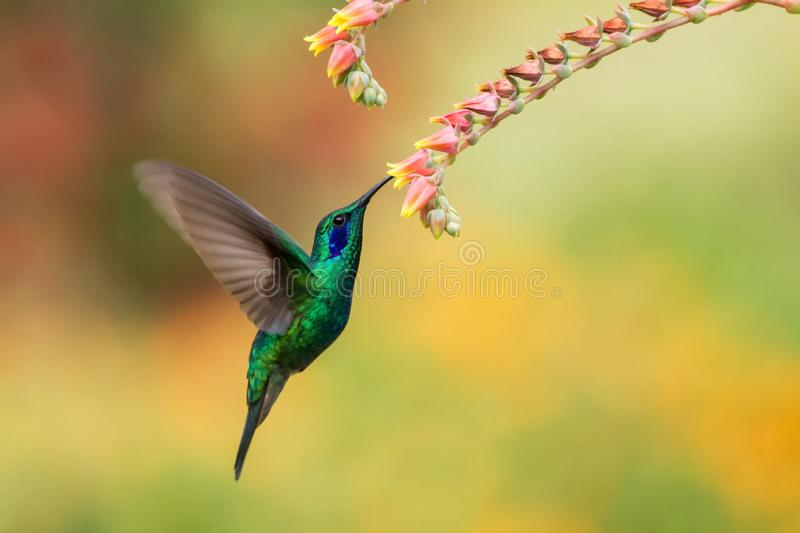Green violetear hovering next to red flower, bird in flight, mountain tropical forest, Costa Rica. Green violetear hovering next to red and yellow flower, bird stock photo