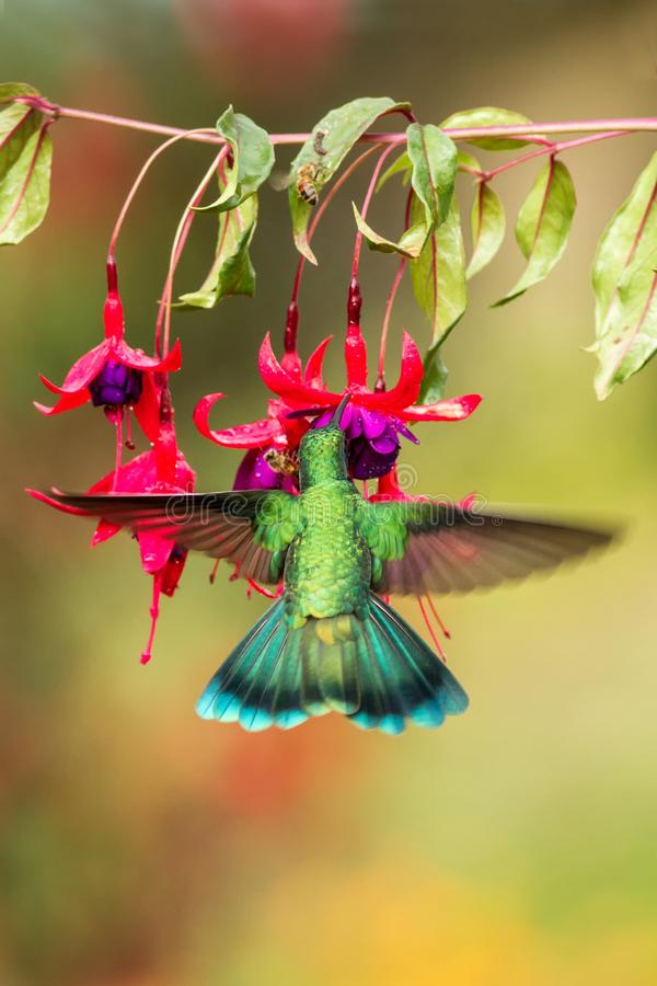 Green violetear hovering next to red flower, bird in flight, mountain tropical forest, Costa Rica. Green violetear hovering next to red and violet flower, bird royalty free stock photography
