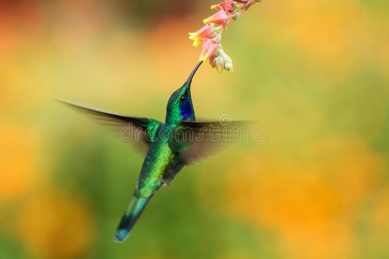 Green violetear hovering next to red flower, bird in flight, mountain tropical forest, Costa Rica. Green violetear hovering next to red and yellow flower, bird royalty free stock images