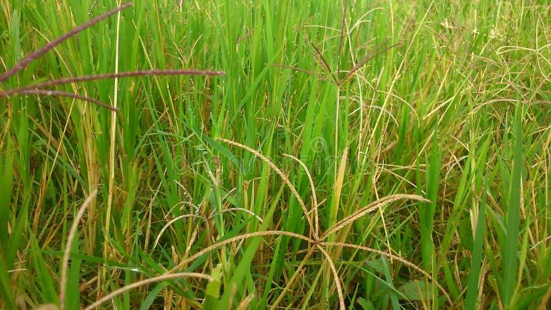 Green virgitation. Green grass at a field stock images