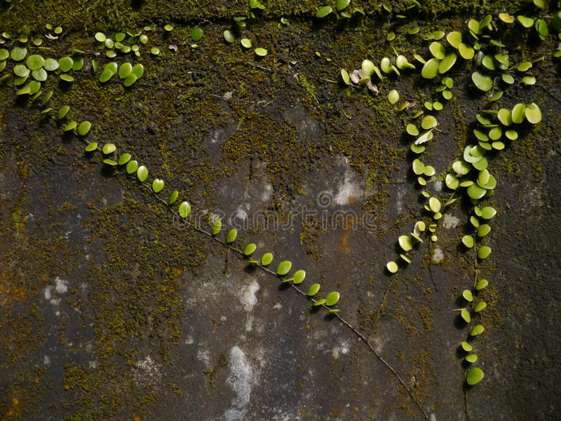 Download Green on the wall stock photo. Image of pumila, green - 23094232