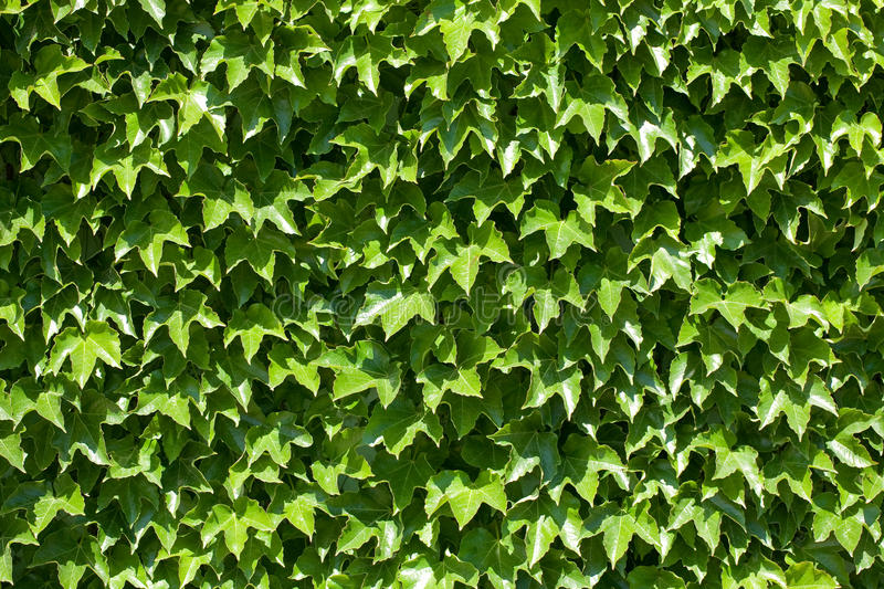 Download Green wall stock image. Image of flora, foliage, green - 25486377