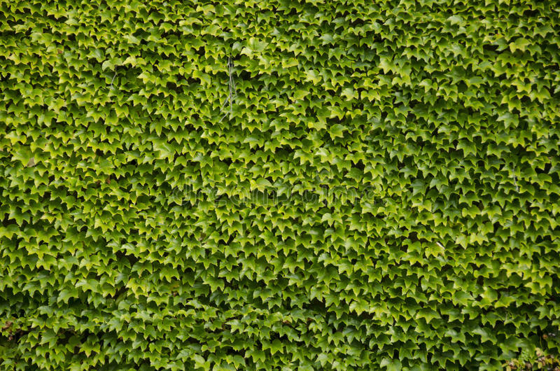 Green wall background of Boston ivy stock image