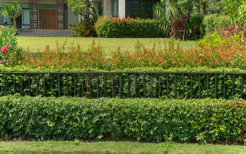 Green wall fence of bush and colorful shrub. Black steel fence in front the backyard stock photo