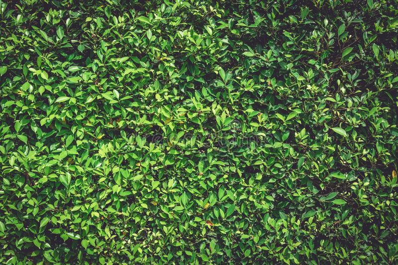 Green wall nature plant background. Tree Texture and Wallpaper concept. Dark tone of natural power. Low key of organic foliage. Full blank copy space, outdoor stock photos