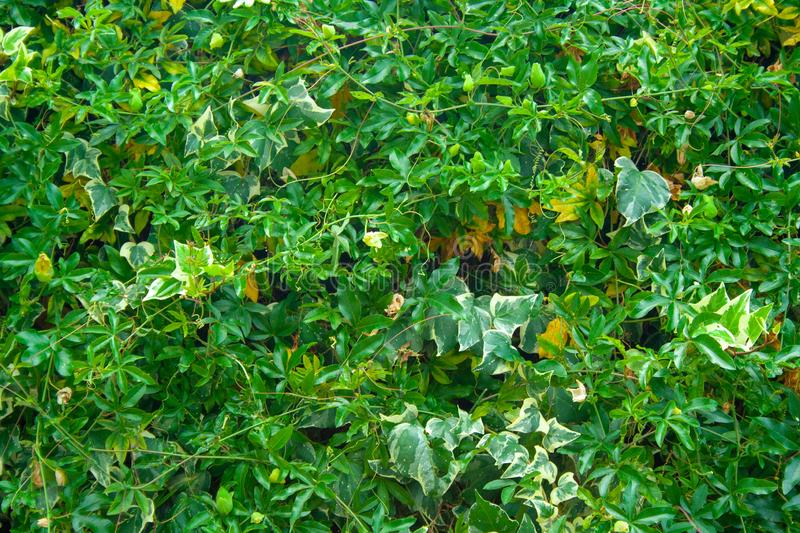 Green wall of passiflora. Green wall of leaves passiflora. Green background for design royalty free stock photo