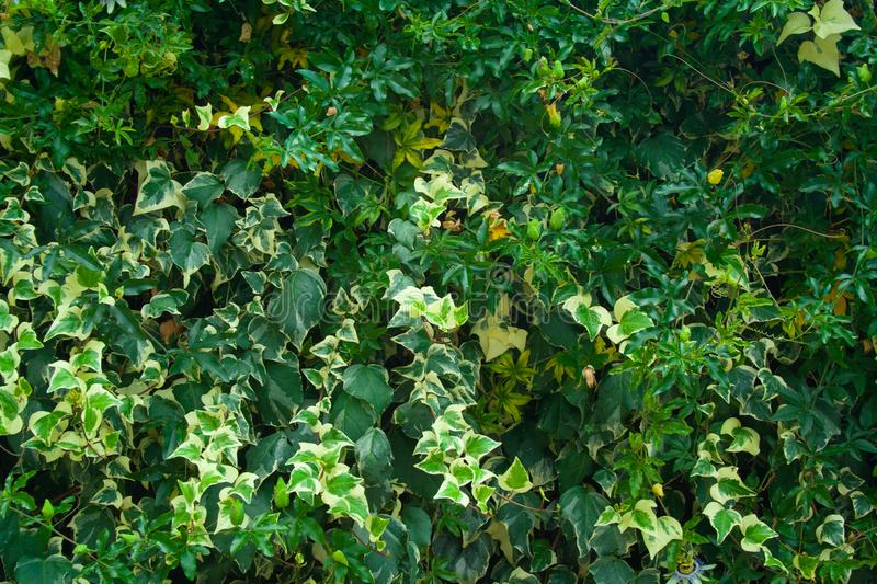 Green wall of passiflora. Green wall of leaves passiflora. Green background for design stock photos