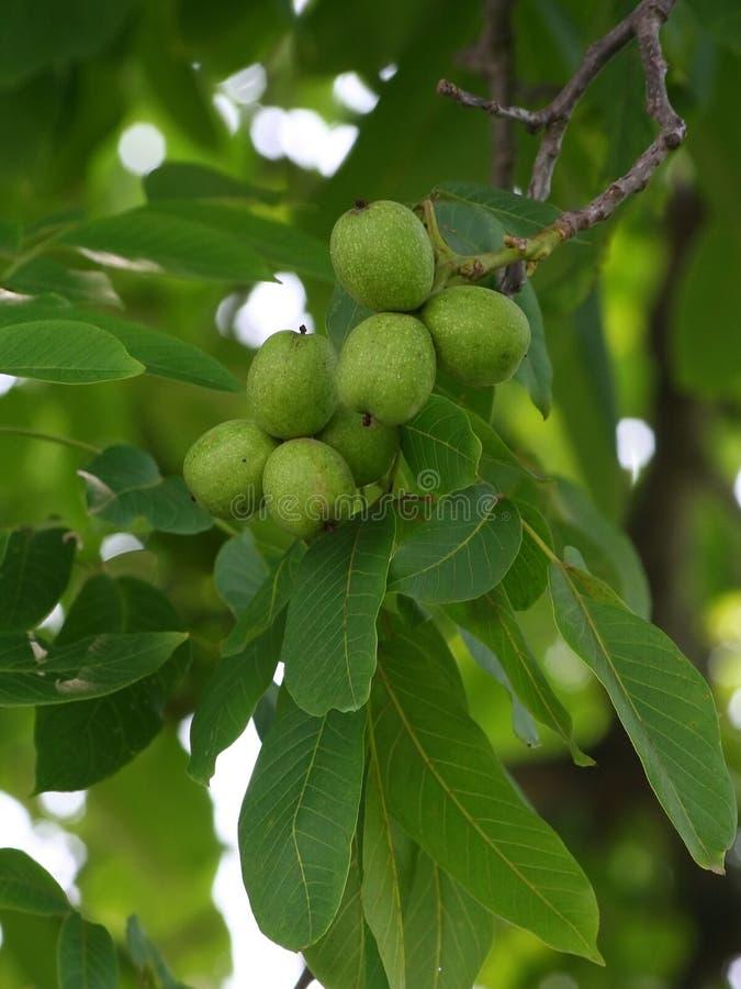 Green walnut royalty free stock image