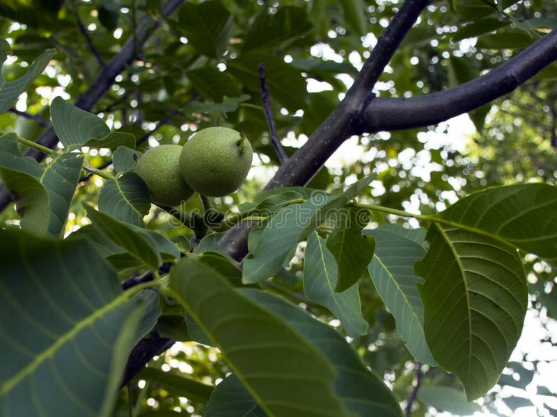 Green walnut fruit hang on a tree in the garden. walnut tree royalty free stock images