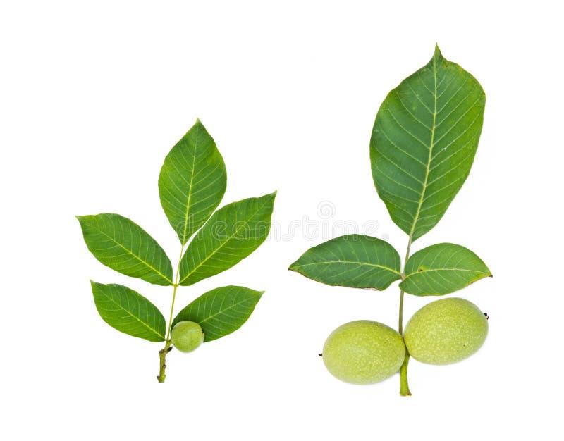 Green walnut fruit with leaf stock image