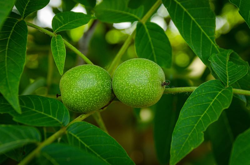 Green walnut fruit royalty free stock photo