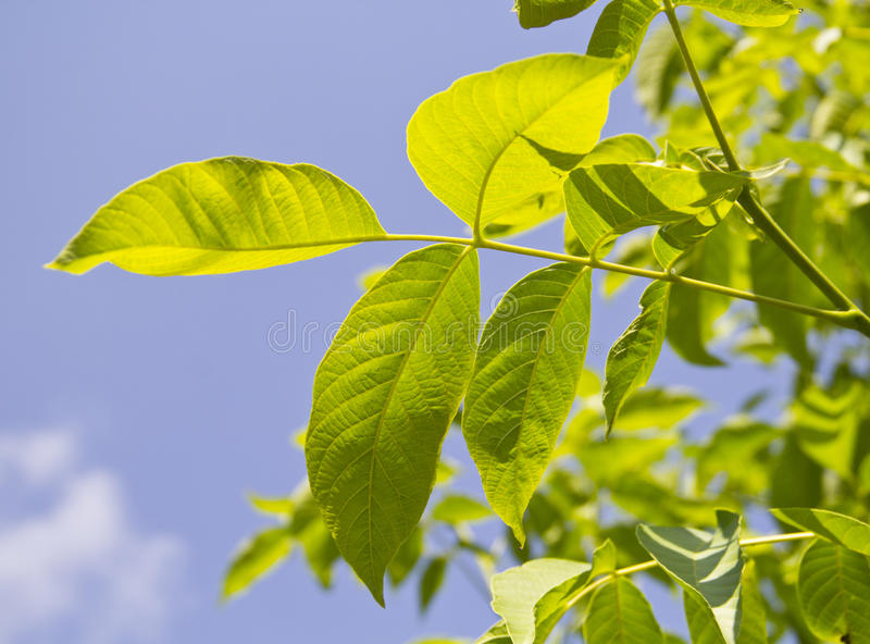 Green walnut leaf royalty free stock photos