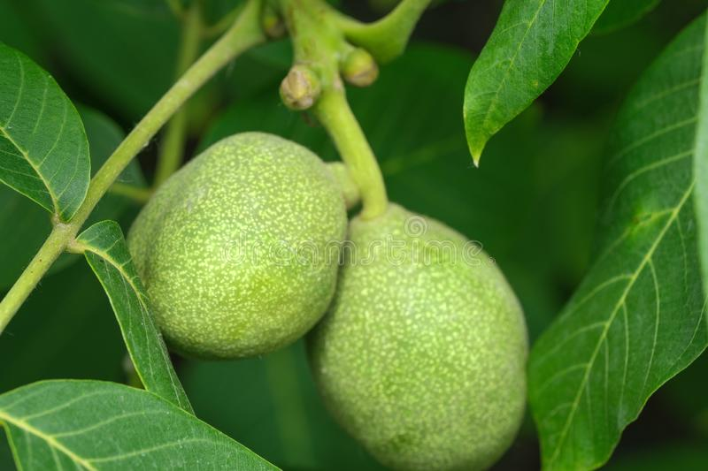 Green walnut ovary. On a branch among leaves close up stock photos