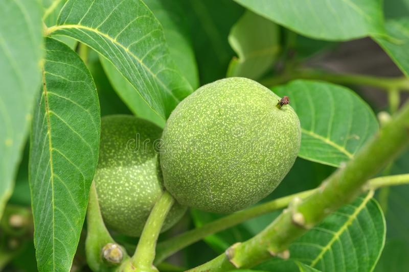Green walnut ovary. On a branch among leaves close up royalty free stock image