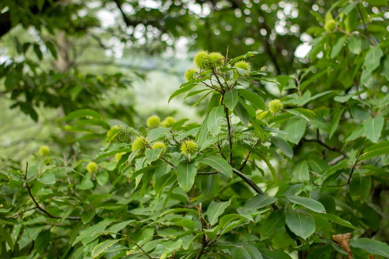 Green walnut plant with some green maturation nuts. stock photo