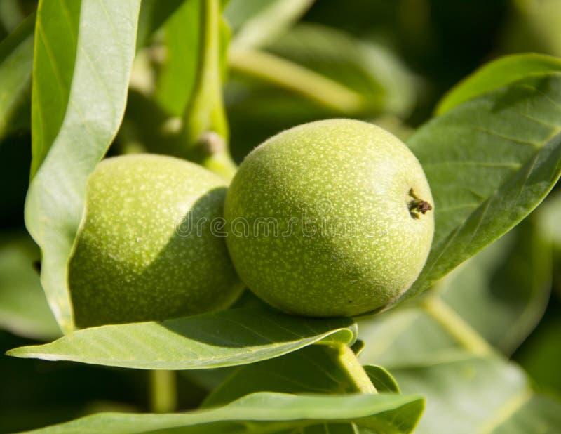 Green walnut royalty free stock photos