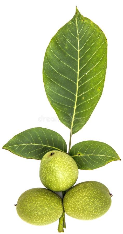 Green walnut stock photography
